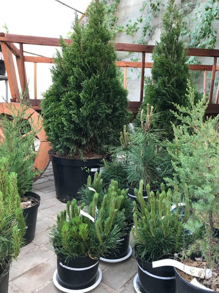 Купить туи для дома, дачи и сада
